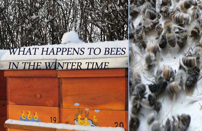 Bees-In-Winter-Do-Bees-Hibernate